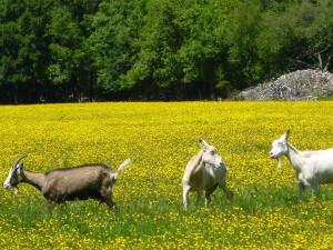 les chèvres de Guittou